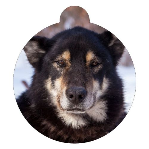 Chinook Dog Breed ID Tag